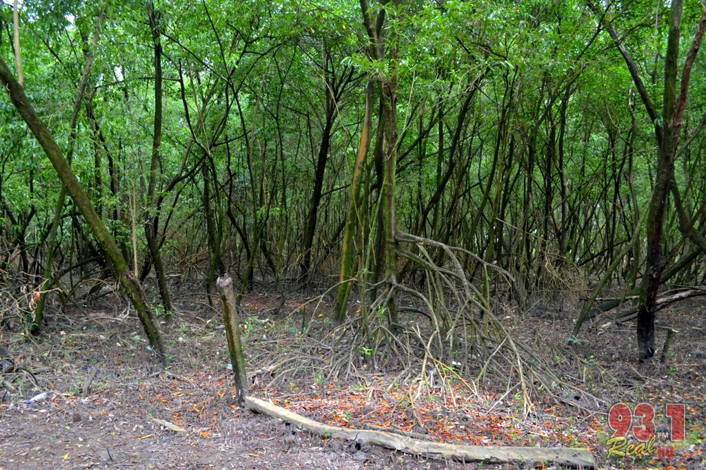 The vegetation at the area is one of thick mangrove forests, a sight to see indeed.