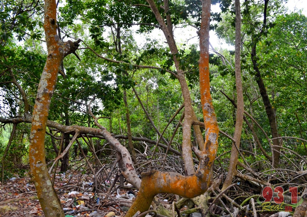 The mangrove trees here can be used for a number of reasons,including adequate seating.